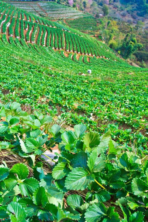 Download Strawberry Garden stock photo. Image of garden, mist - 35105764