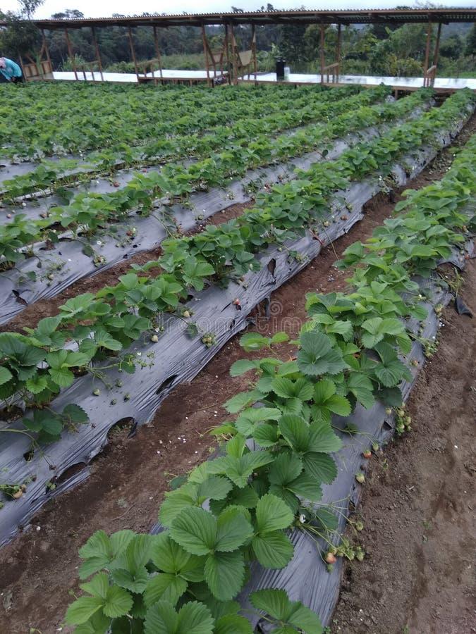 Strawberry Garden. Of bener meriah,  aceh stock photo