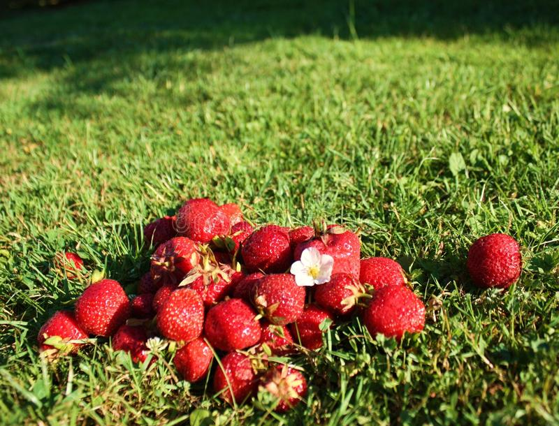 Download Strawberry on grass stock image. Image of green, blossom - 15218907