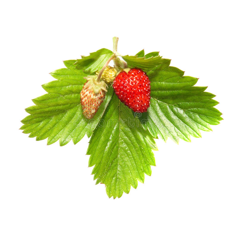 Strawberry with green leaf stock photography