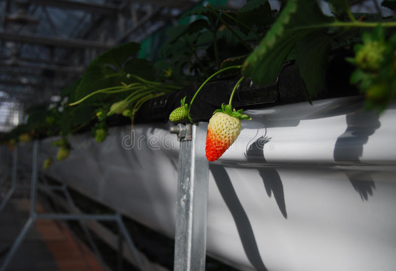 Download Strawberry in greenhouses stock image. Image of crops - 23453251