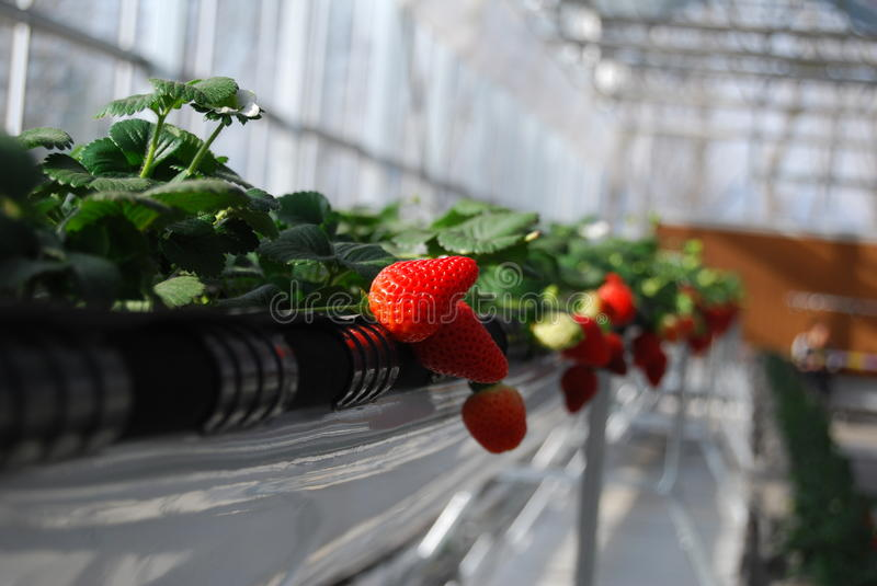 Download Strawberry in greenhouses stock image. Image of farm - 23453315