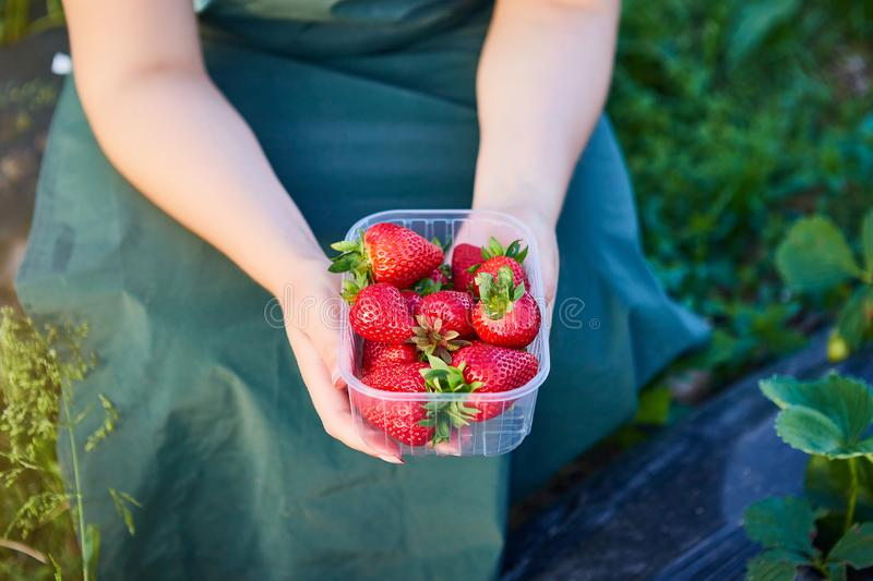 Strawberry growers engineer working in the field with harvest, woman holding berries. Strawberry growers engineer  working in the field with harvest, woman royalty free stock images