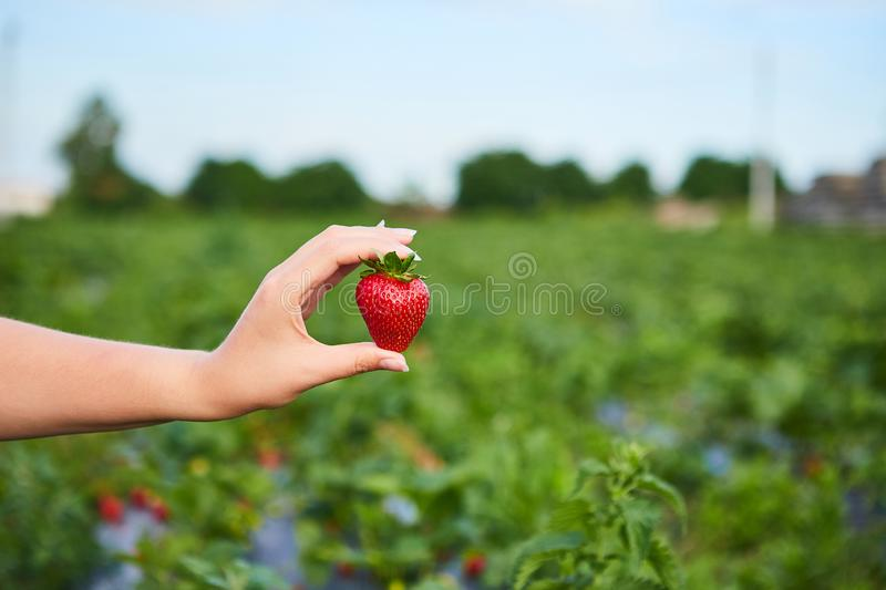 Strawberry growers engineer working in the field with harvest, woman holding berries. Strawberry growers engineer working in the field  with harvest, woman stock photo