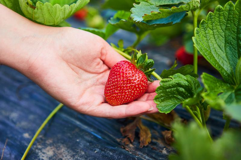 Strawberry growers engineer working in the field with harvest, woman holding berries. Strawberry growers engineer working in the field with harvest, woman stock image