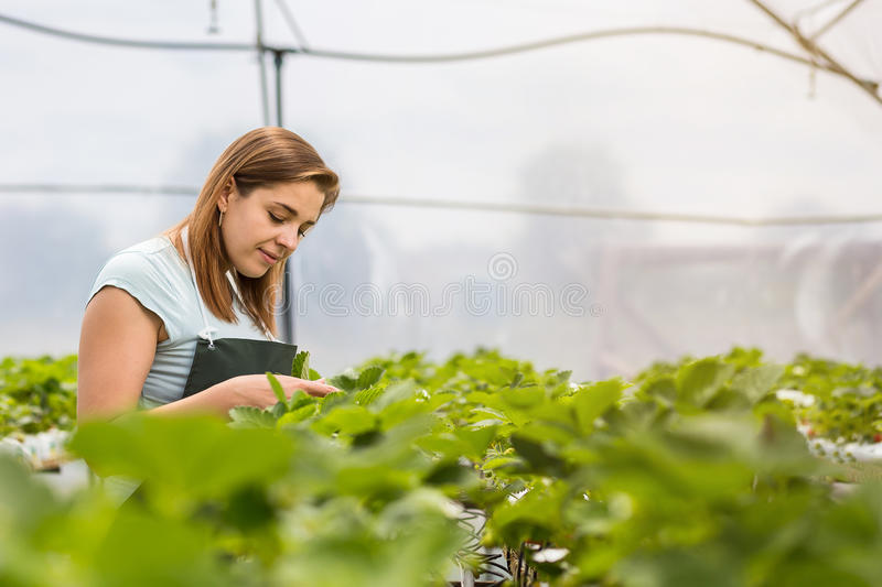 Strawberry growers with harvest,Agricultural engineer working in. The greenhouse.Female greenhouse worker with box of strawberries,woman picking berrying on royalty free stock image