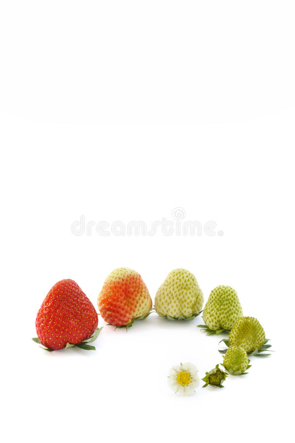 Strawberry growth isolated on white stock images