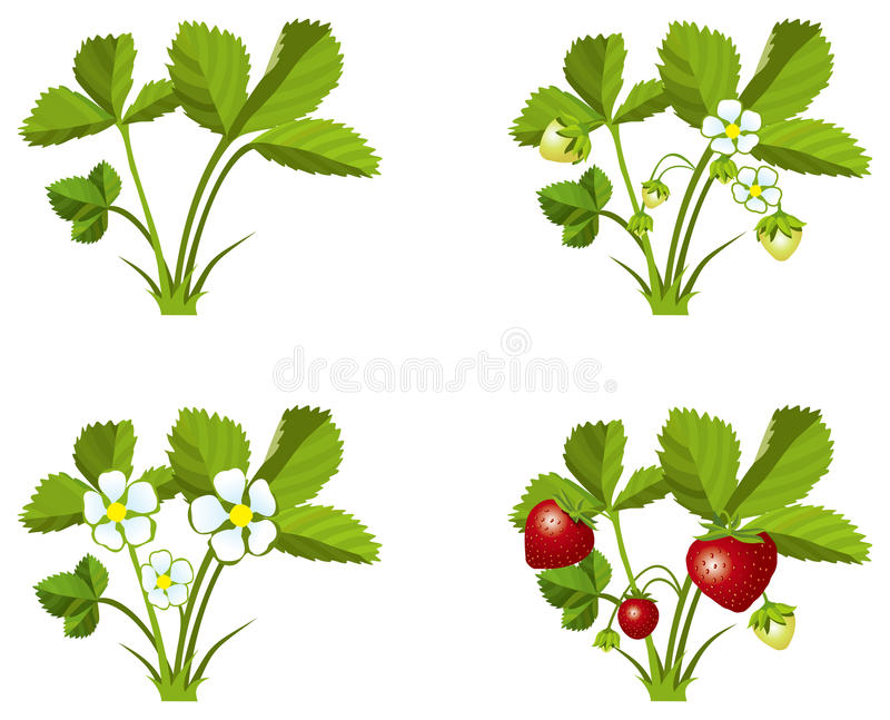 Download Strawberry growth phases stock vector. Image of seed - 27400329