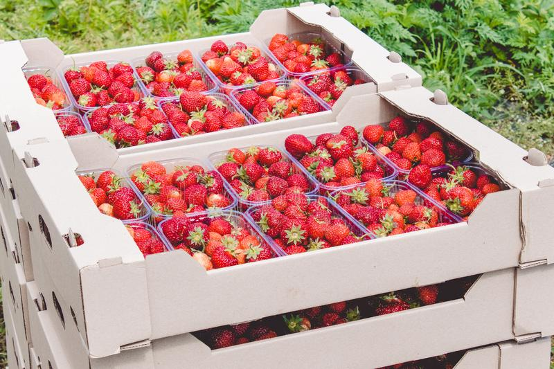 Strawberry harvest. An appetizing red strawberry with green tails lies in a carton box on the field stock photo