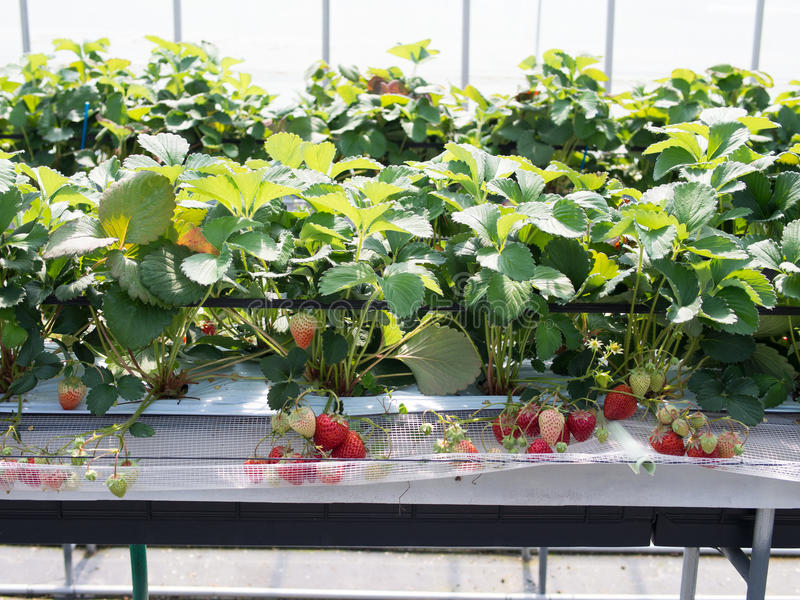 Strawberry hunting. Image of organic strawberry in farm stock photography