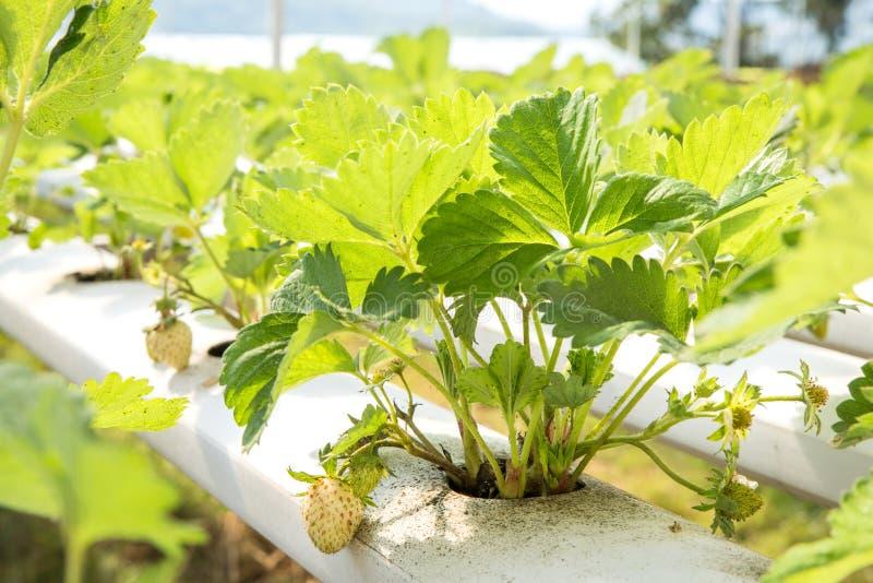 Strawberry hydroponic plantation in nursery. Strawberry hydroponic plantation at farm stock photos