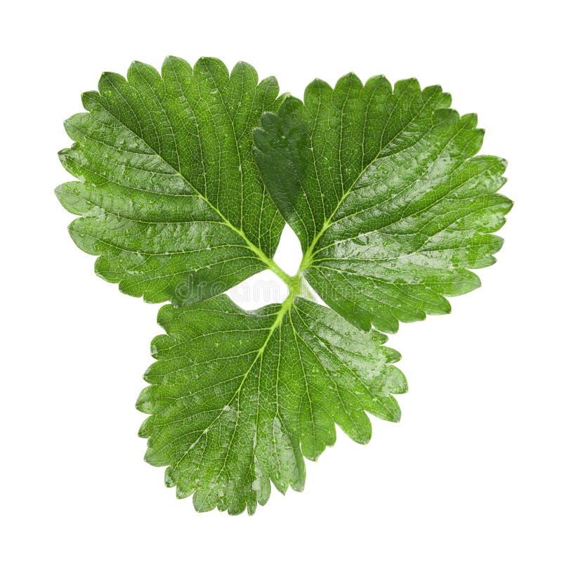 Free Strawberry Leaf Stock Photo - 18765380