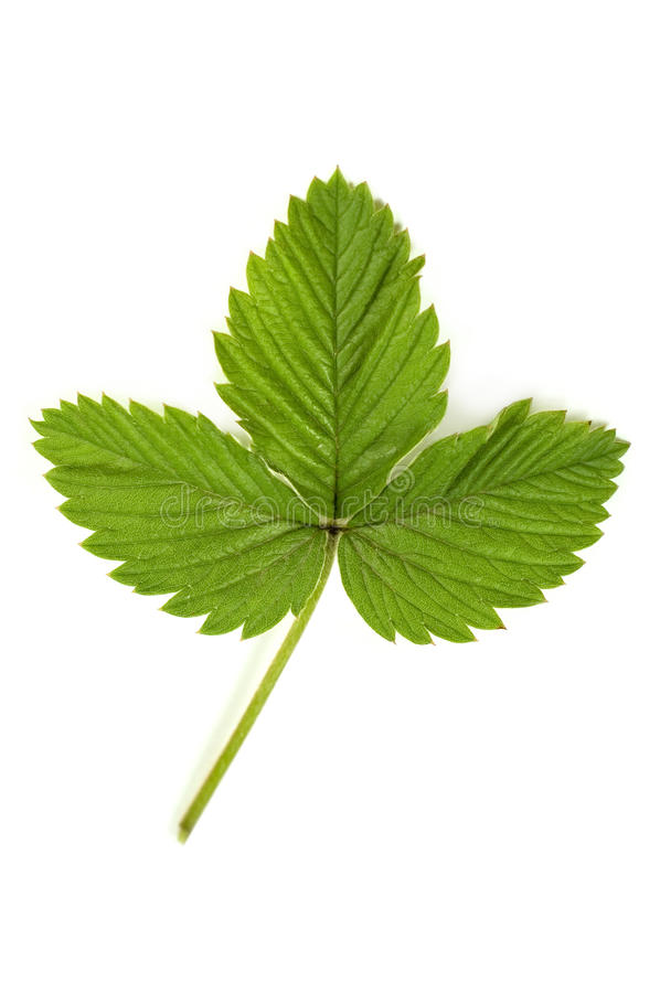 Free Strawberry Leaf Royalty Free Stock Images - 24994969