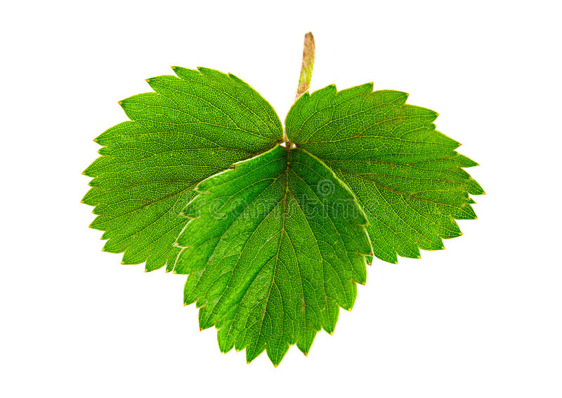 Strawberry leaf royalty free stock photo