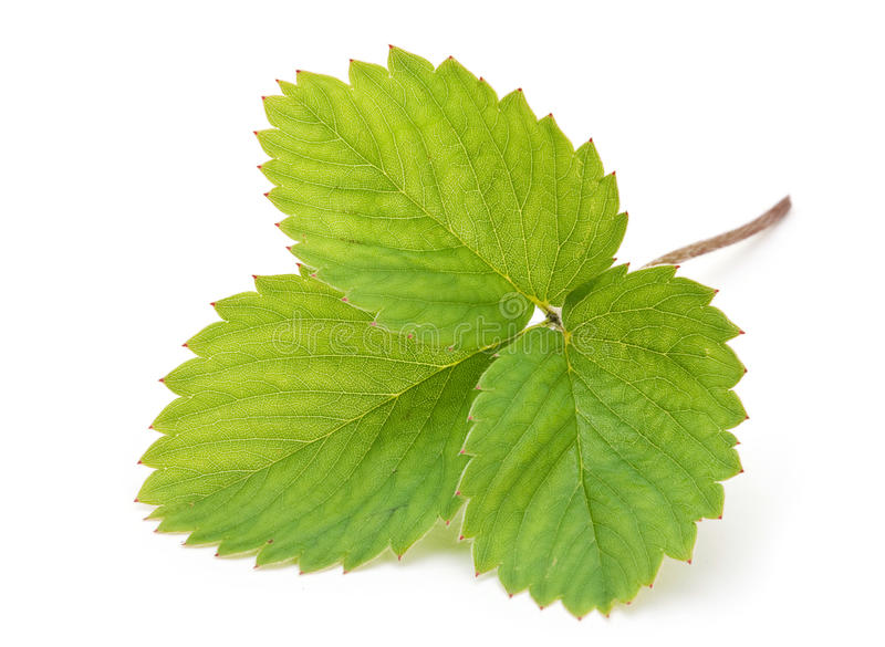 Strawberry leave royalty free stock images