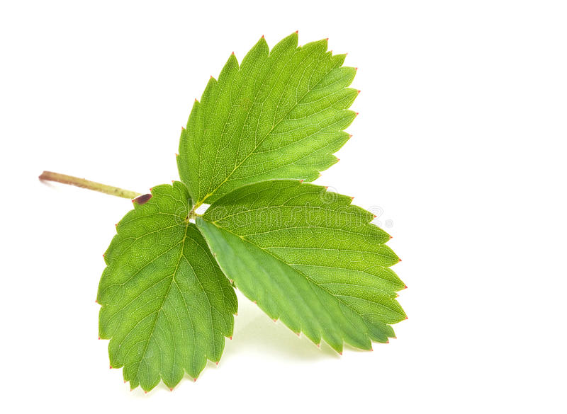 Strawberry leave royalty free stock photos