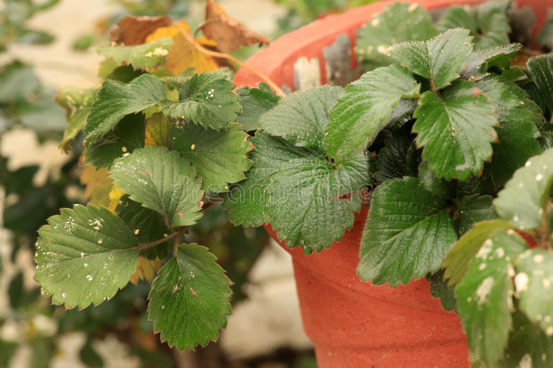 Strawberry leaves stock photo