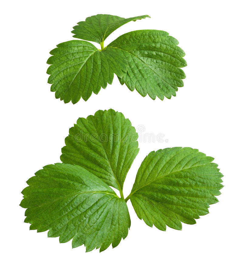 Strawberry Leaves isolated on white royalty free stock photography