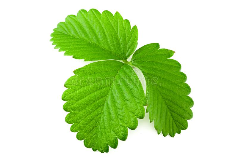 Strawberry leaves isolated on a white background stock photos