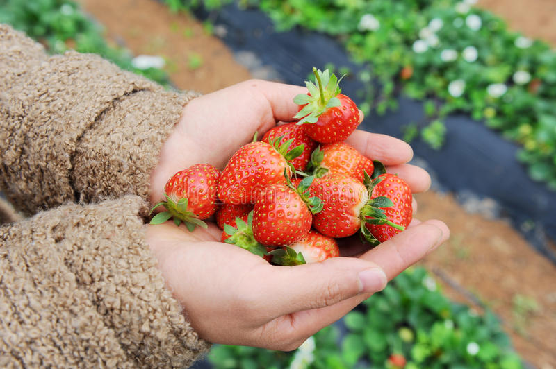 Strawberry Lie In Hands Stock Photo