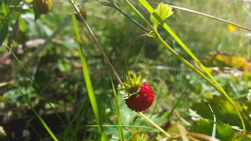 Strawberry nature wallpaper royalty free stock image
