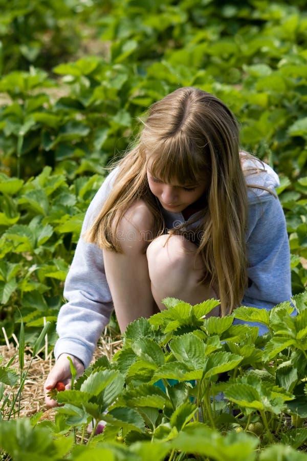 Strawberry Picking stock image