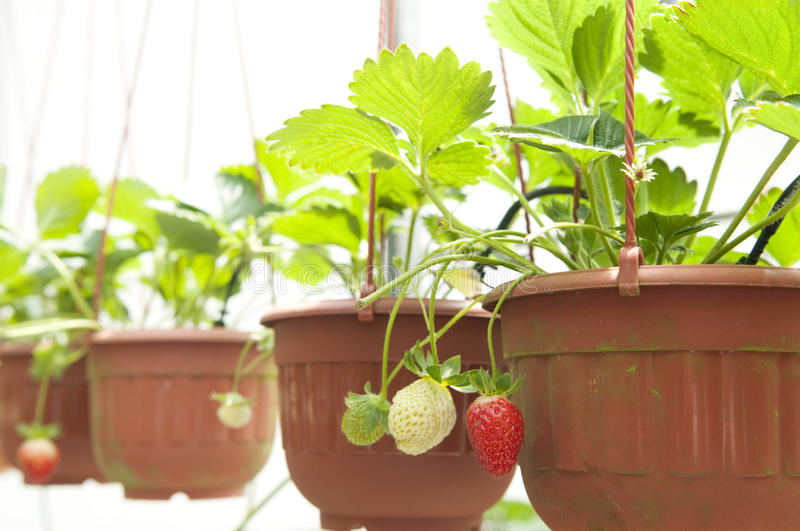Download Strawberry plant stock image. Image of closeup, delicious - 11925425