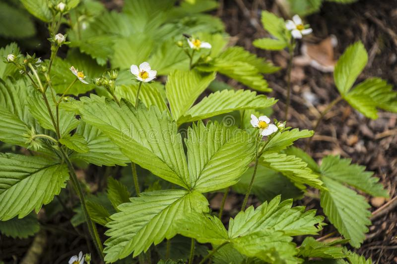 Strawberry plant. Blossoming of strawberry. Wild stawberry bushes.  stock photos