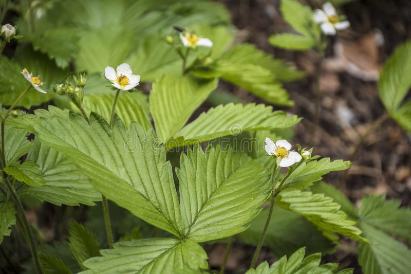 Strawberry plant. Blossoming of strawberry. Wild stawberry bushes.  stock image