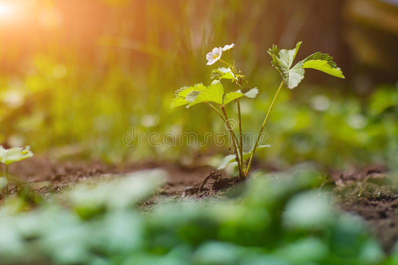 Strawberry plant with flower stock photography