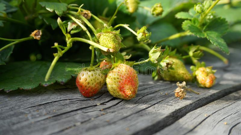 Strawberry plant with green leaves, flowers and unripe berries in the morning sun close up. royalty free stock photography