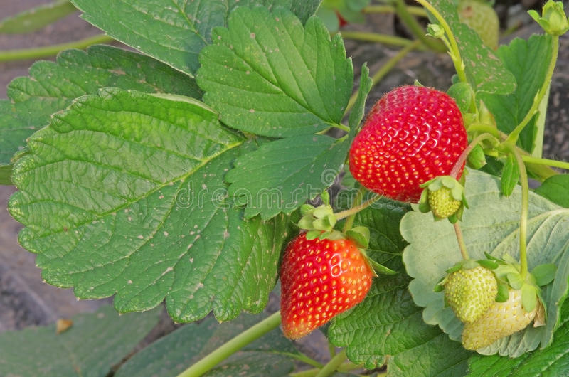 Download Strawberry Plant Stock Photo - Image: 32361360