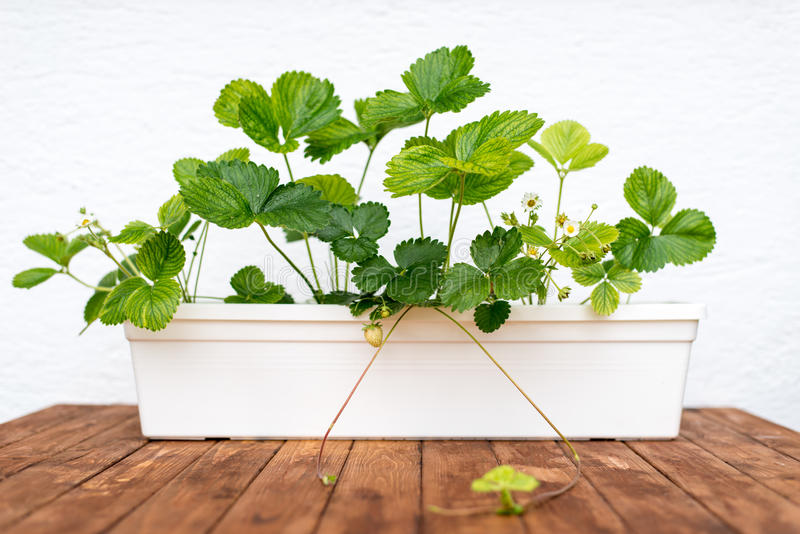 Strawberry plant growing in a flowerpot. Young strawberry plant growing in a flowerpot stock photography