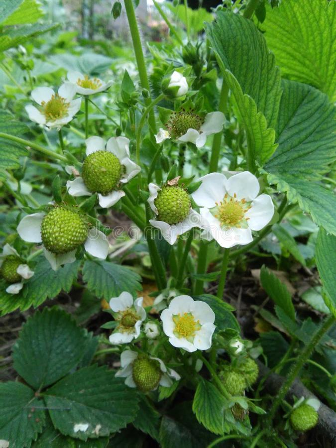 Green young Strawberry plant with white flowers royalty free stock photo