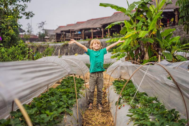 Strawberry plantation in Bali in the Bedugul area. Happy cute kid boy picking and eating strawberries on organic bio. Berry farm in summer, on warm sunny day royalty free stock photography