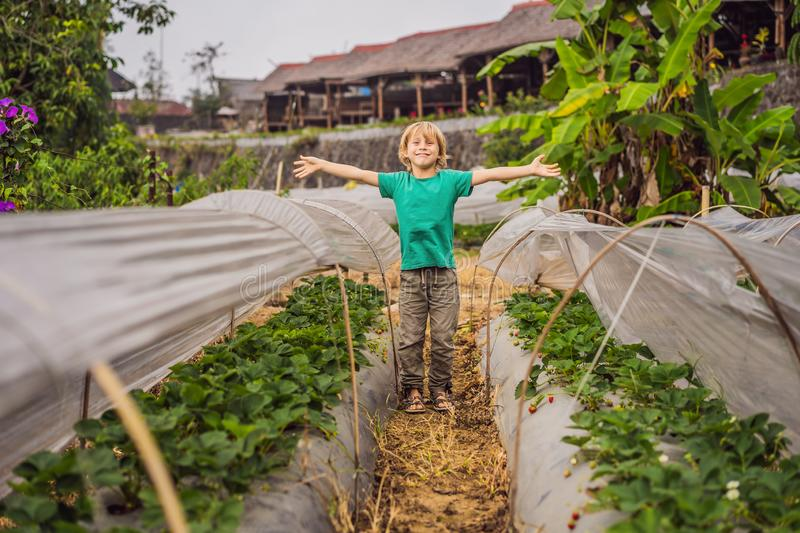 Strawberry plantation in Bali in the Bedugul area. Happy cute kid boy picking and eating strawberries on organic bio. Berry farm in summer, on warm sunny day stock photography