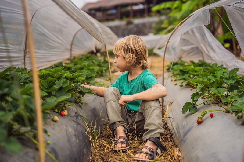 Strawberry plantation in Bali in the Bedugul area. Happy cute kid boy picking and eating strawberries on organic bio. Berry farm in summer, on warm sunny day royalty free stock photos