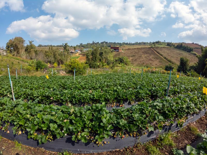 Strawberry plantation in small farm at hill, Northern Thailand. royalty free stock photo