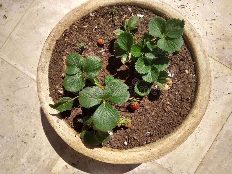 strawberry plants in container royalty free stock images