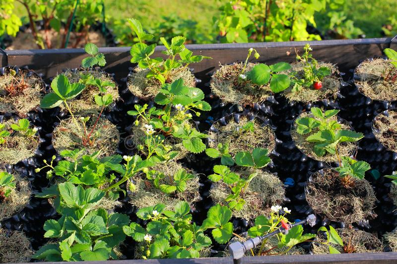 Strawberry plants in plastic pots with watering system. Healthy food concept. stock images