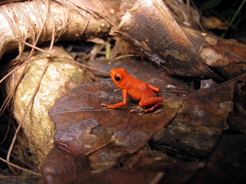Download Strawberry Poison-dart Frog Royalty Free Stock Photos - Image: 19482688