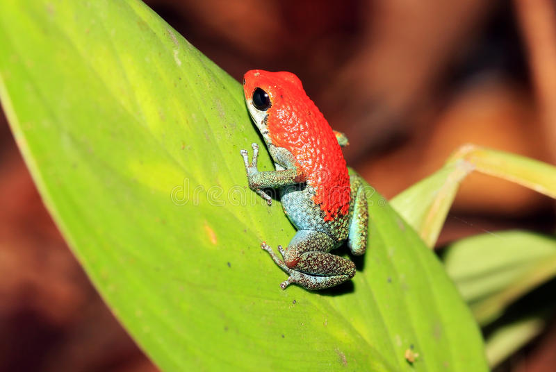 Strawberry Poison-dart Frog royalty free stock photo