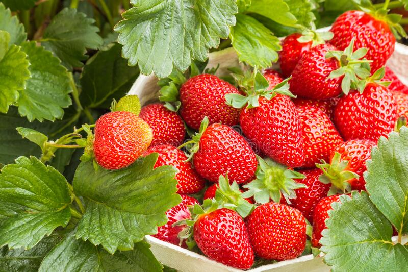 Strawberry punnet full of freshly picked organic strawberries. Closeup of strawberry punnet full of freshly picked organic strawberries stock image