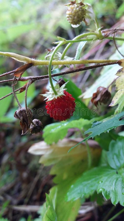 A strawberry royalty free stock photography