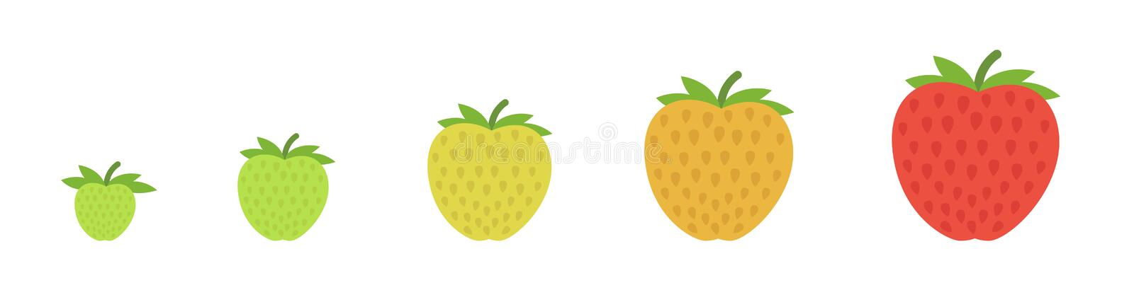 Strawberry ripeness stages. Harvesting and ripening berry. Vegetable colour gradation set plant. Ripening period and harvest. Animation development progression royalty free illustration
