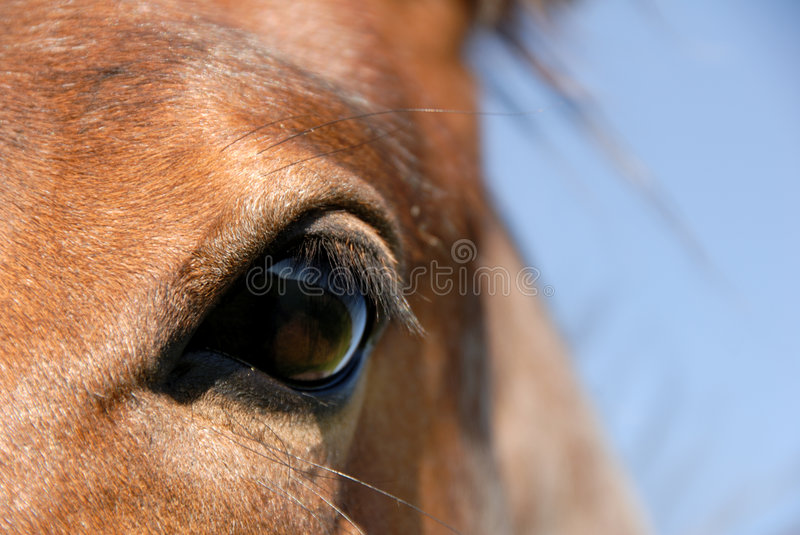 Download Strawberry Roan stock image. Image of closeup, herding - 5300861
