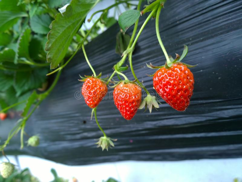 Strawberry. (Rosaceae,  is a perennial herb)n (scientific name: Fragaria × ananassa Duch, English: ). Rosaceae,  is a perennial herb A red fruit, also known royalty free stock image