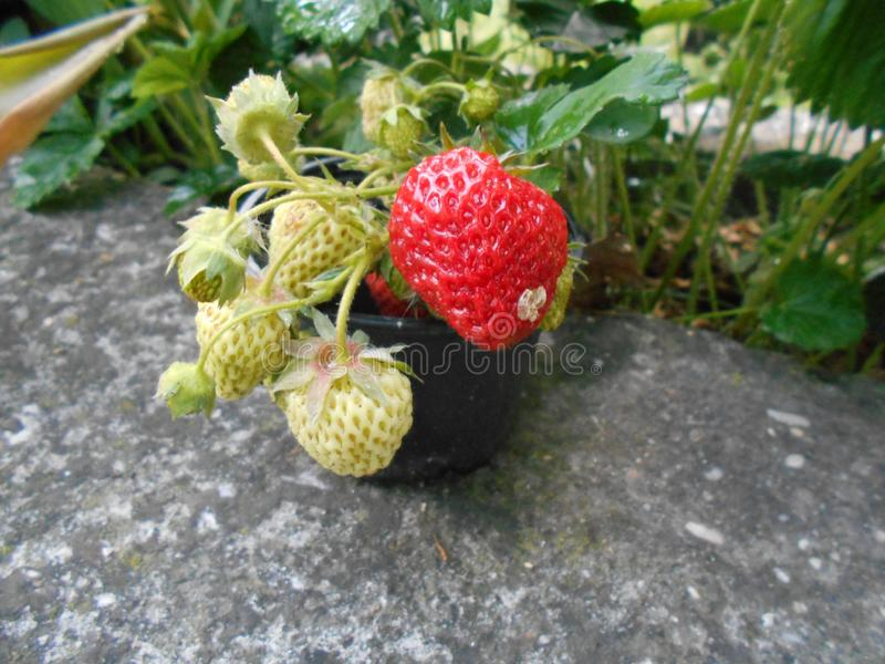 Strawberry, Strawberries, Fruit, West Indian Raspberry Free Public Domain Cc0 Image