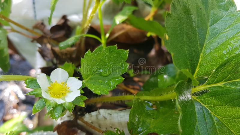 Strawberry. Flower leaf whiteflower royalty free stock images