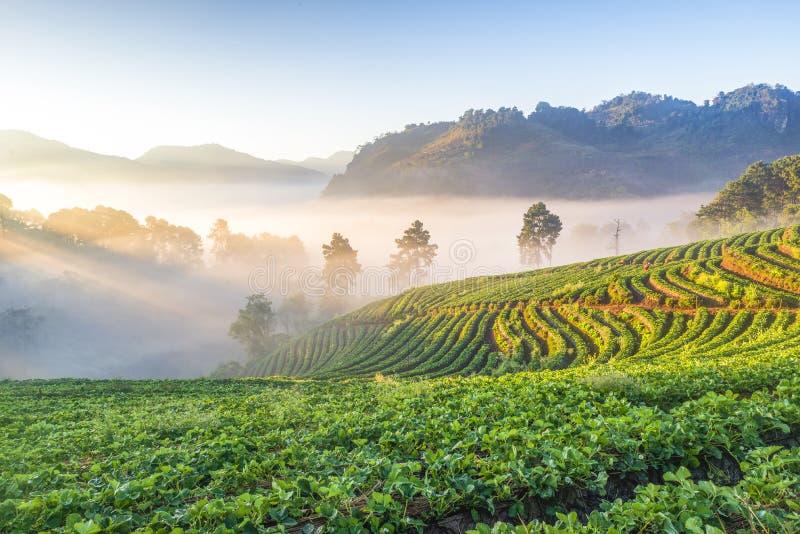 Strawberry Terrace Plantation with Morning Mist at Sunrise, Ang Khang Moutnian, Chiangmai, Tailândia imagens de stock